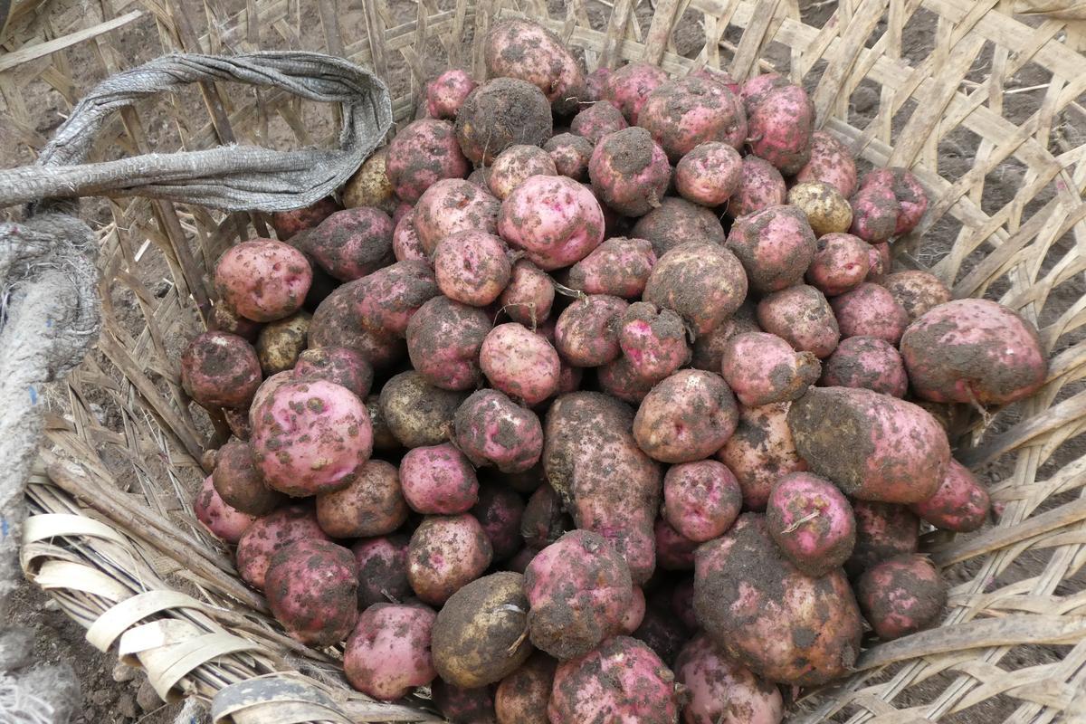高山的馬鈴薯,個頭比較小。