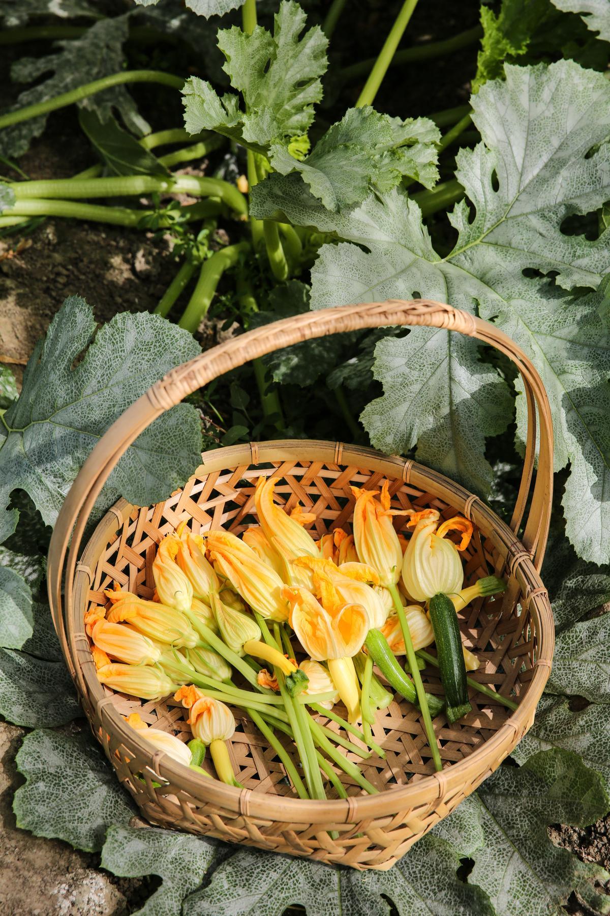 櫛瓜花只在清晨時段綻放4小時,每天須在清晨8點前採收完畢。