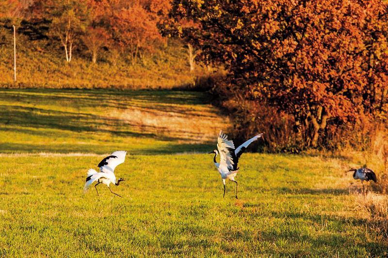 秋季來到鶴居村,可以看見丹頂鶴在楓紅中跳舞的景象。