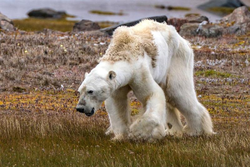 國家地理雜誌攝影師在加拿大北極圈內目擊這隻餓到骨瘦如柴的北極熊,牠極可能是暖化的受害者。(翻攝國家地理雜誌)