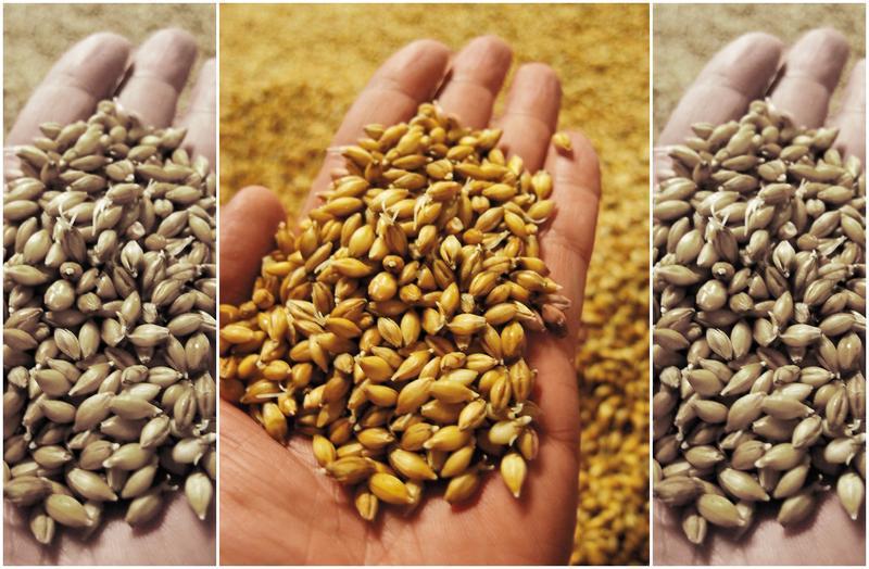 大麥必須浸泡潮濕才能發芽,而傳統的地板式發芽,很多酒廠現在已經停作。