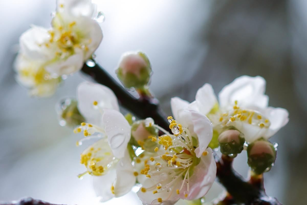 盛開梅花最怕風雨打落花瓣。