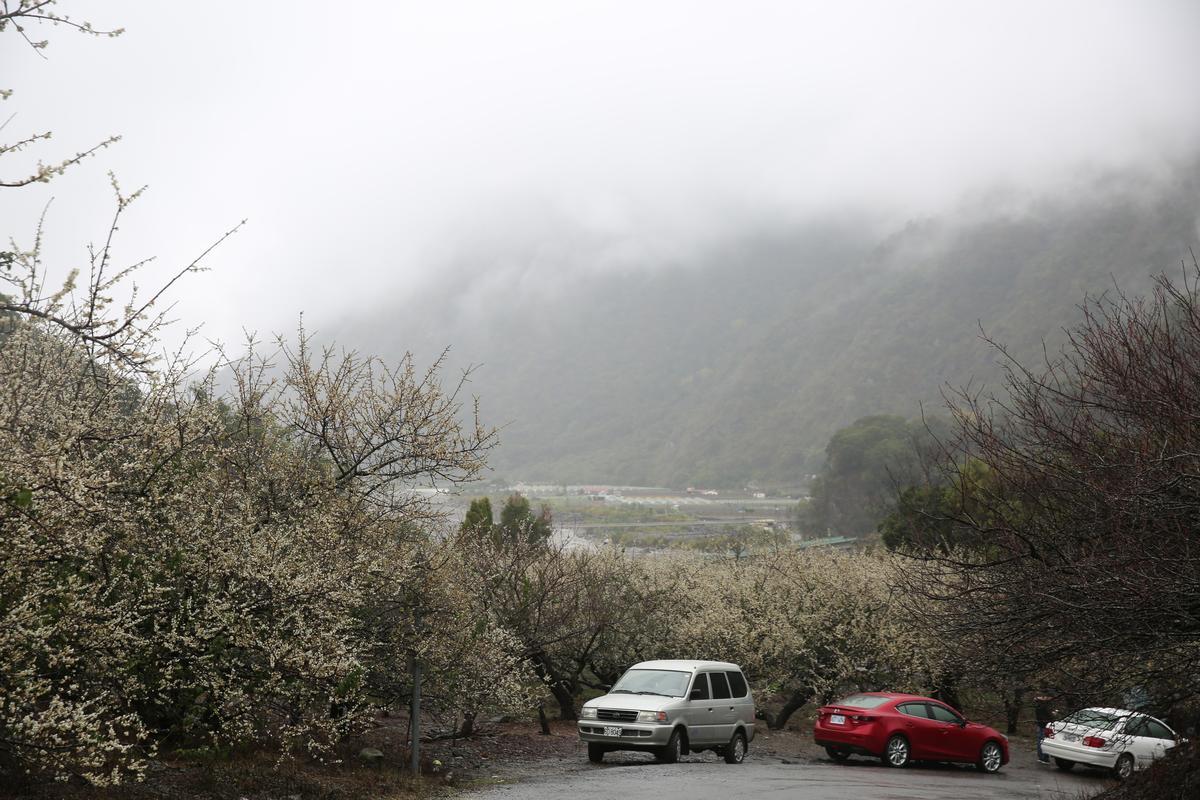 信義鄉部落現在幾乎被盛開梅花籠罩。