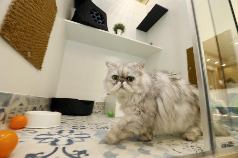 研究顯示,多數母貓是右撇子,下樓梯或伸貓掌拿食物時,偏好用右手,公貓則是左撇子。(東方IC)