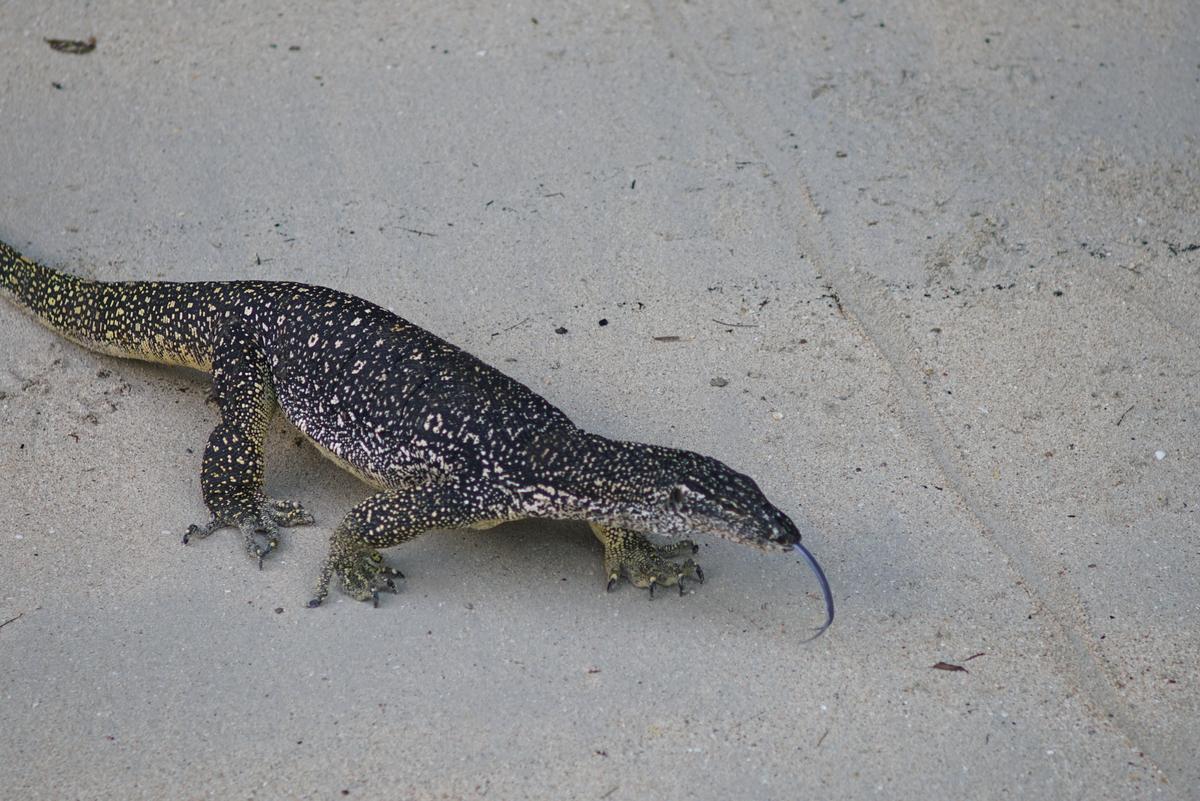 在渡假村中,常會見到身長一米以上的圓鼻巨蜥。