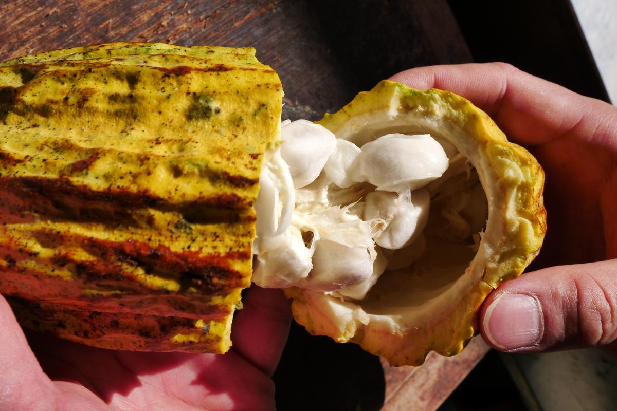 可可果莢剖開後,露出包著生可可豆的乳白色果肉,滋味像是鮮甜的山竹。