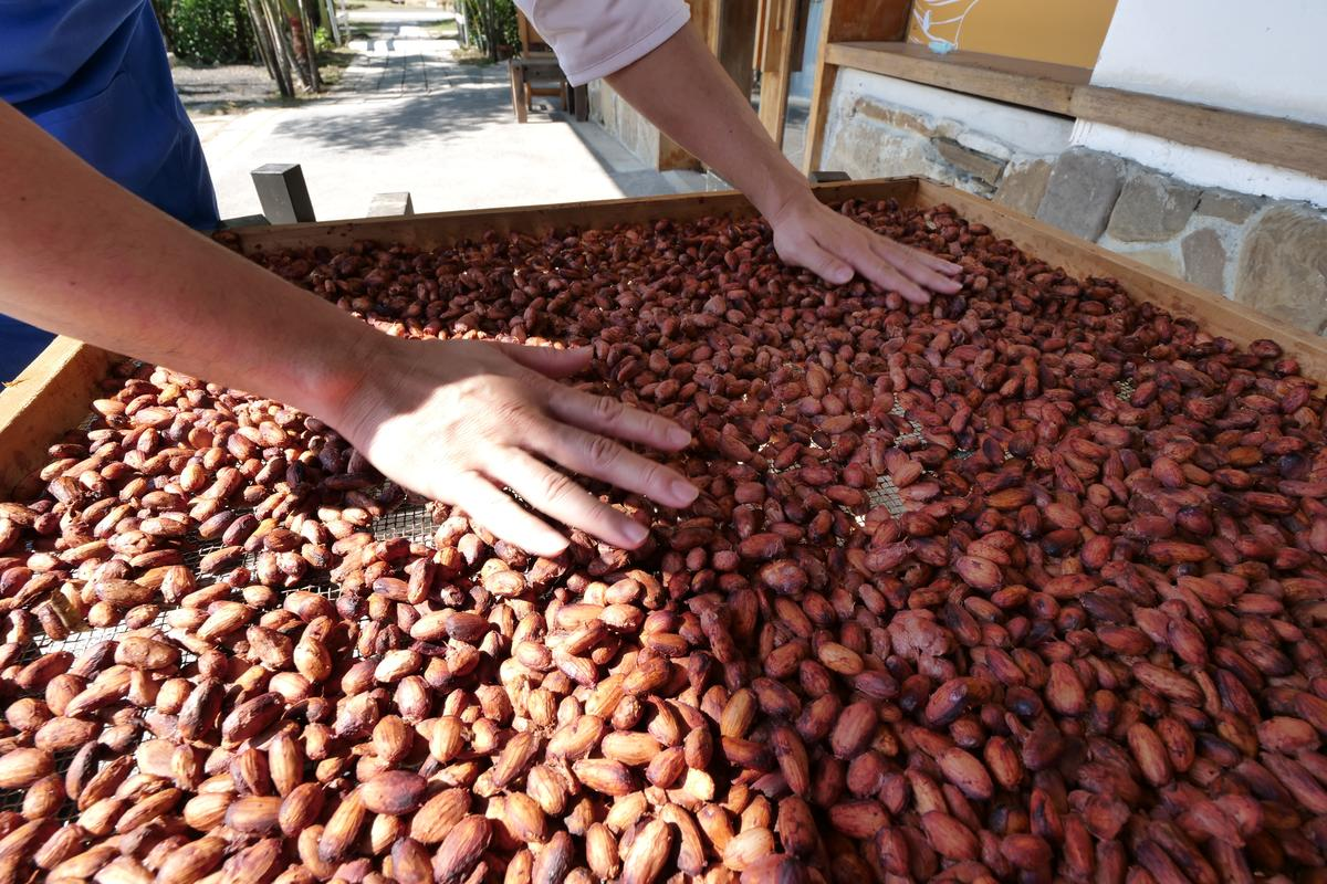 許華仁認為大自然日曬的可可豆比起烘烤脫水的可可豆,風味更飽滿。