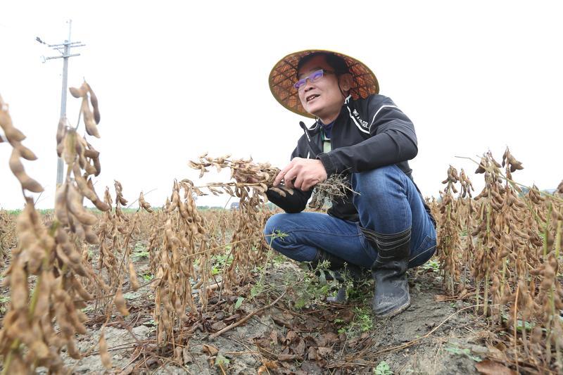 走進一遍黃澄澄,準備收成的黑豆田中,鄭惠民看著飽滿的黑豆,滿臉笑意。