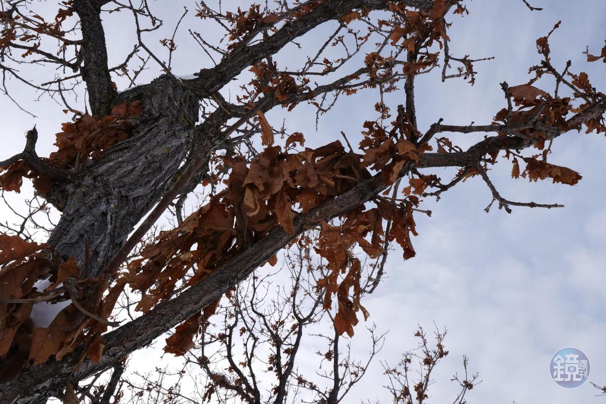 柏樹冬天未掉落的枯黃老葉,是為了保護春天新芽。