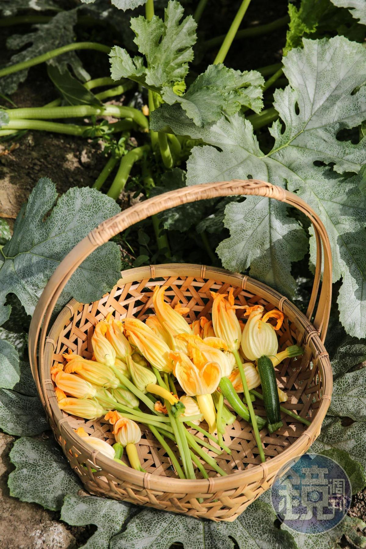 剛採收的櫛瓜花散發香甜的瓜果氣味。