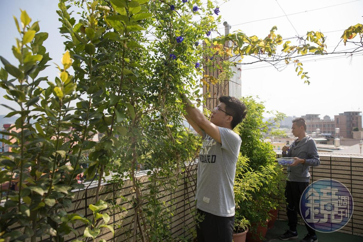 Hero Restaurant創辦人蕭淳元在南投老家屋頂栽種食用花卉,每天清晨採收孔雀草、蝶豆花、金銀花、芳香萬壽菊、美女櫻等花卉。