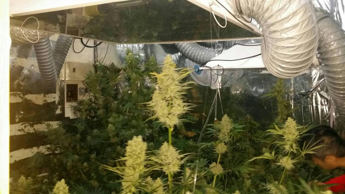 台中警方上門搜索,查獲16株大麻植栽與大麻花成品。(警方提供)