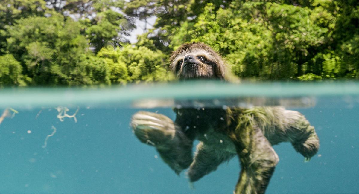 《地球:奇蹟的一天》裡可以見到樹懶驚人的演技。(甲上提供)