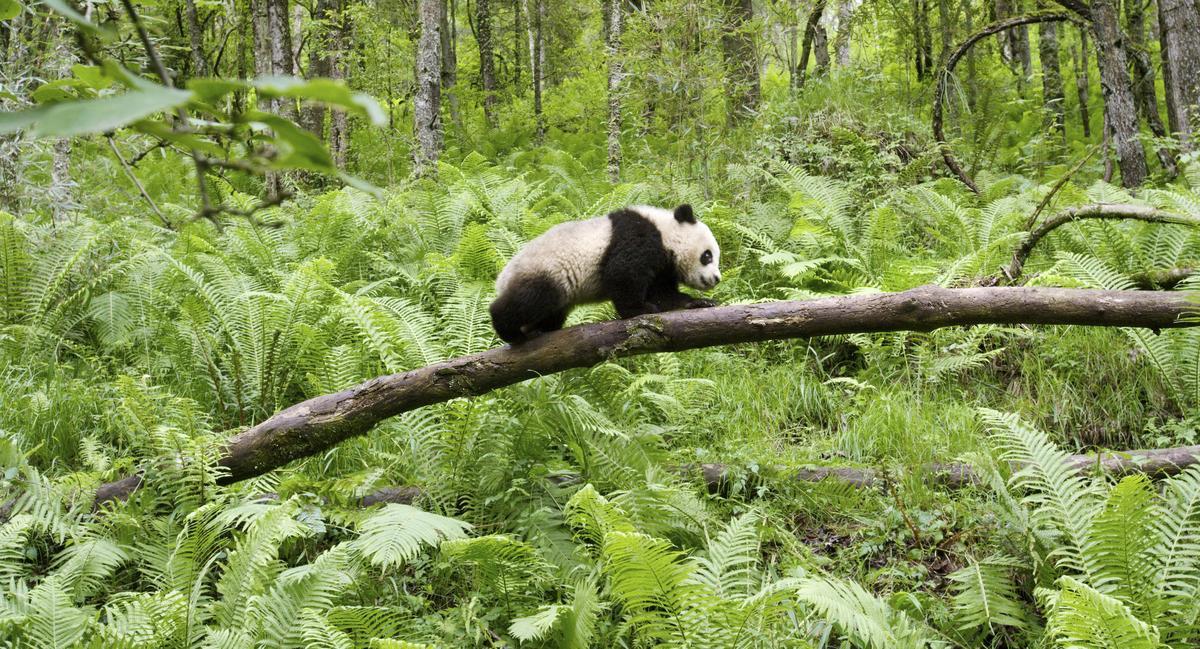 貓熊在《地球:奇蹟的一天》裡角色十分吃重。(甲上提供)