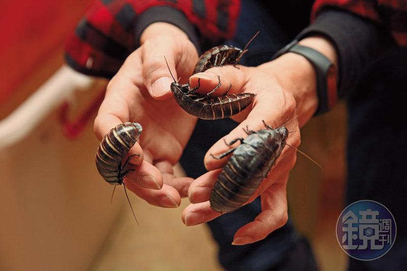 蟑螂不只是爬蟲動物的飼料,單價150元的黑色馬達加斯加蟑螂因外型威武,被昆蟲玩家當成寵物。