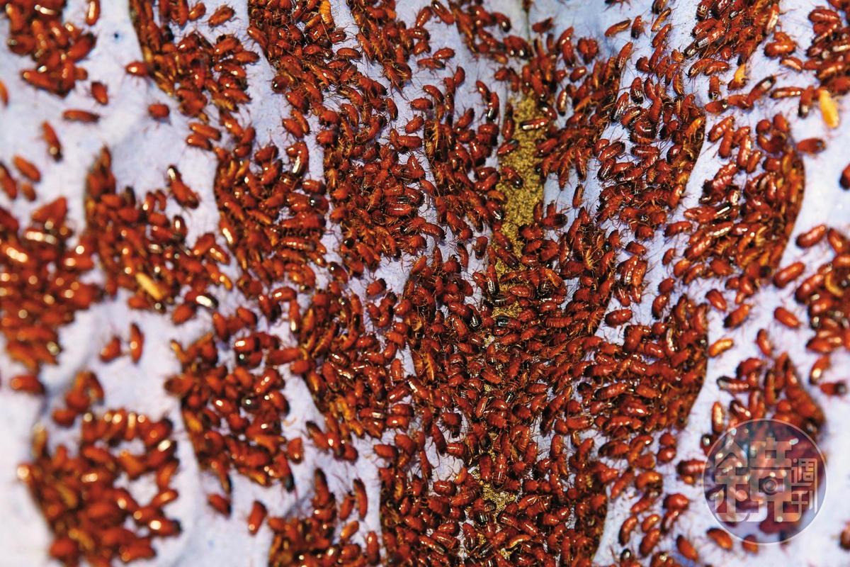 蟑螂是一般人家中的害蟲,卻是謝瑋晏眼中的金雞母。
