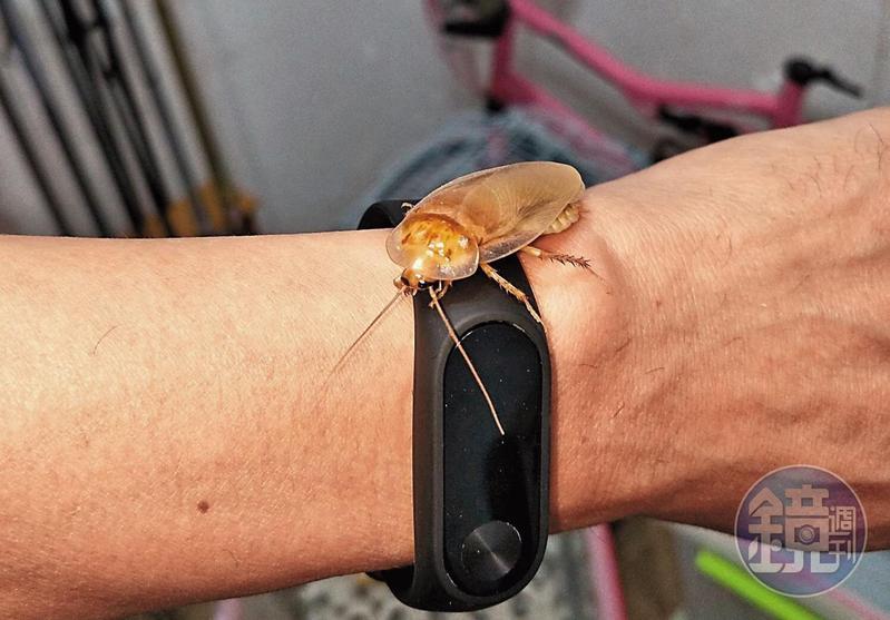謝瑋晏偶然培育出黃金蟑螂,立刻被玩家以1隻5,000元收購。