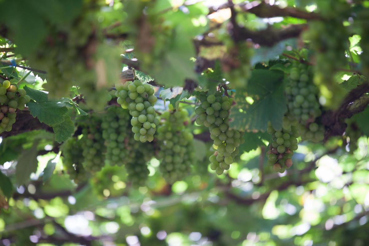 樹生酒莊裡拿來釀製「埔桃酒」的金香葡萄。(格蘭菲迪提供)