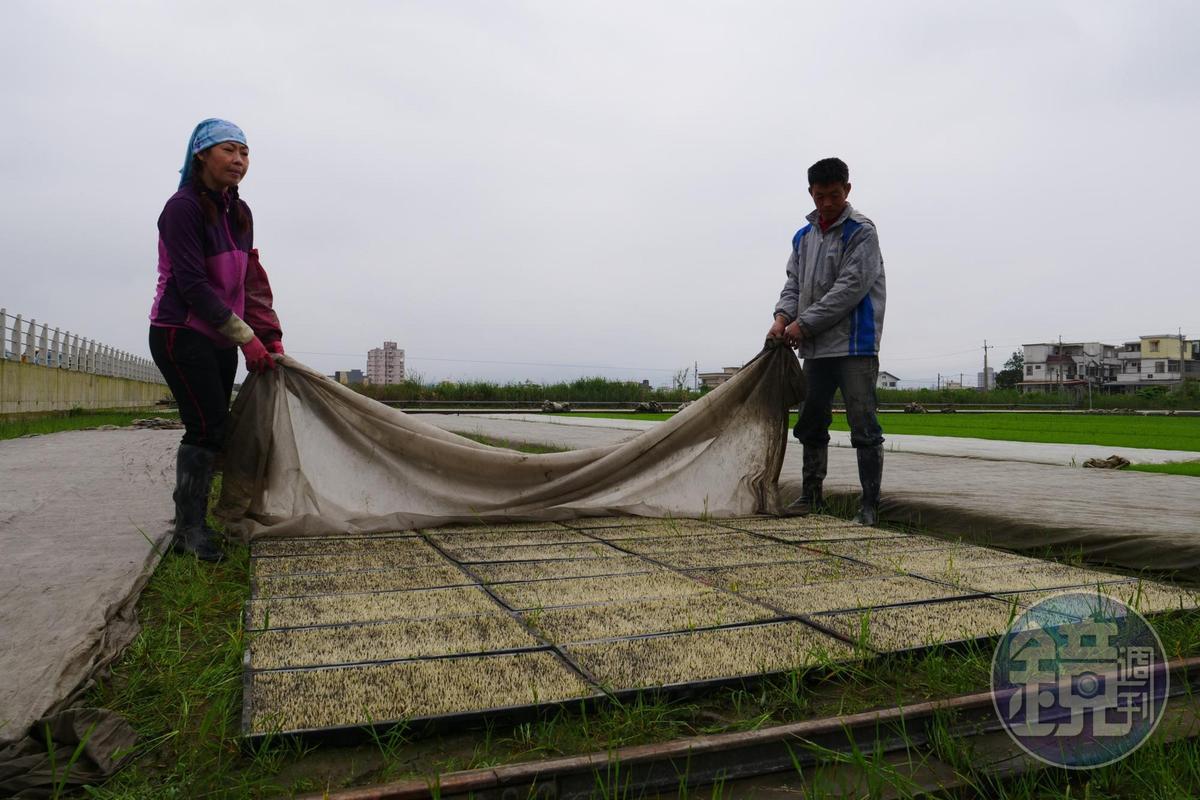 春初天氣多變,「雪福米」主人游麗雪(左)和方福在(右)正在查看秧苗是否頭好壯壯。