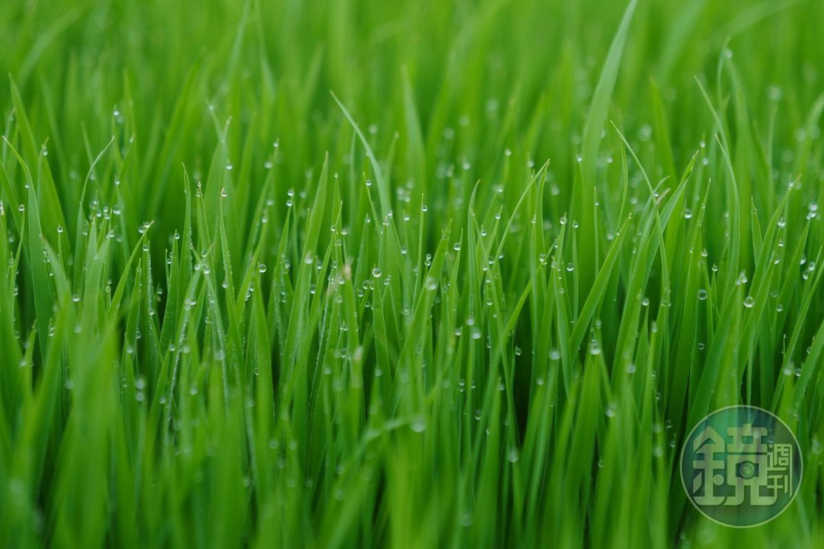 清晨時沾浸著露水的稻苗綠浪。