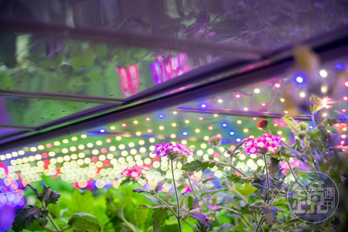 植物工廠裡正在實驗栽培水耕食用花、白草莓等新品種。