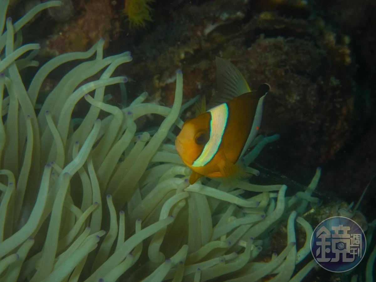 在科隆各個浮潛點,都可以看見小丑魚自在悠游於海中畫面。
