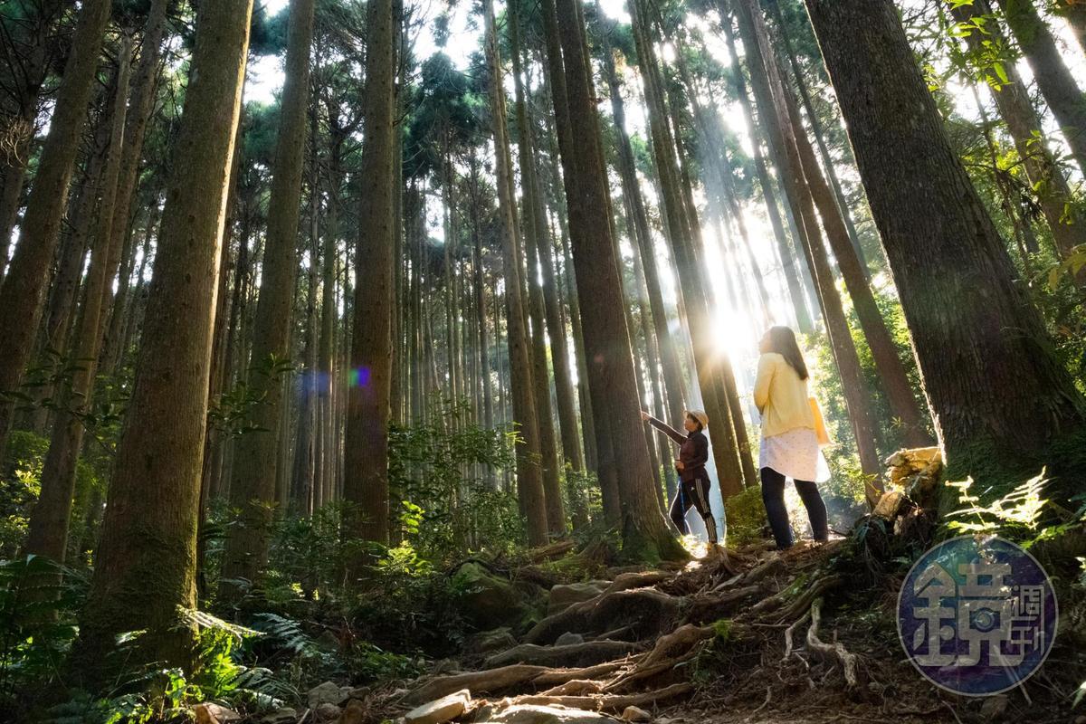 加里山的步道,為人為種植的柳杉。