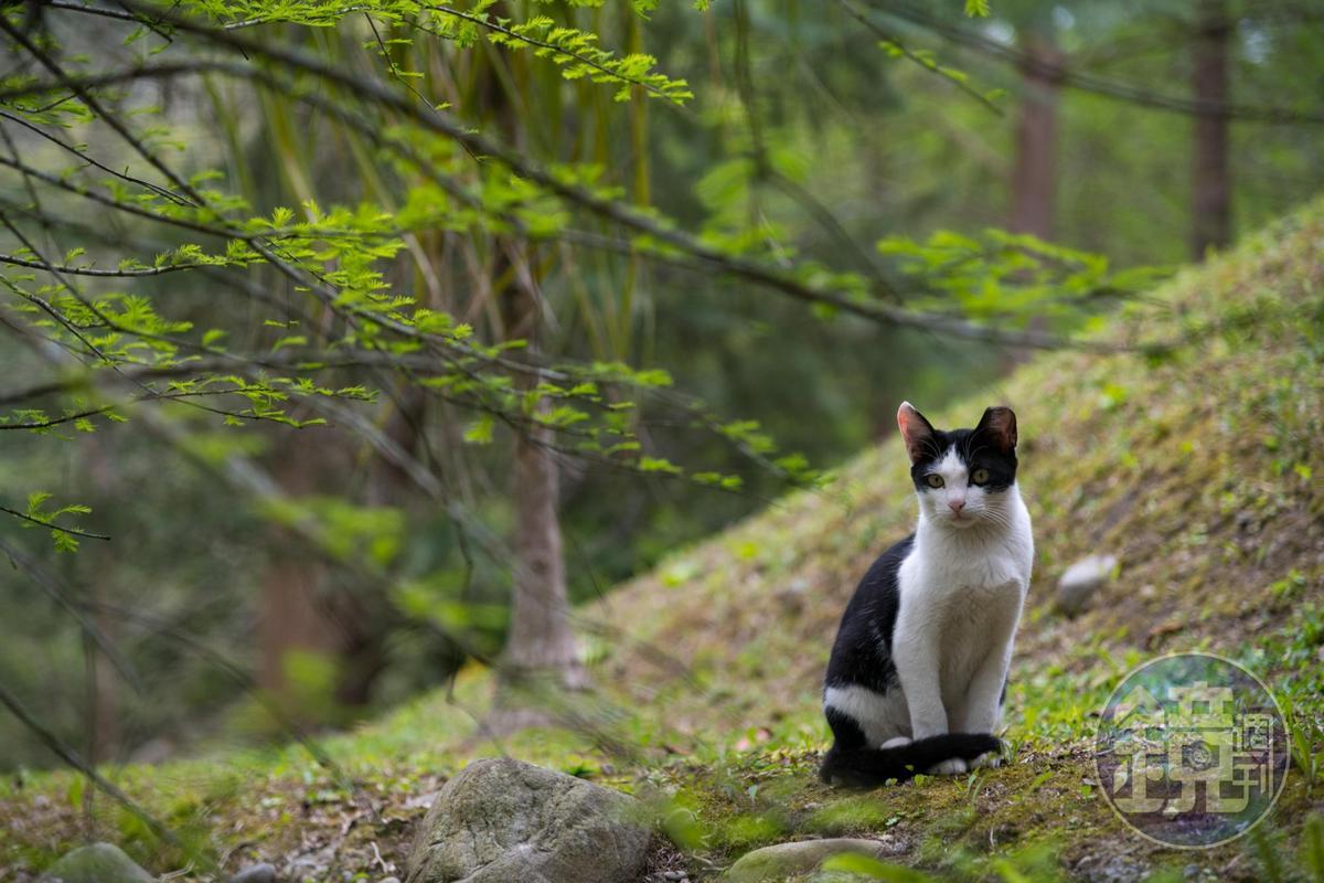 有些貓咪只會遠遠看著遊客。