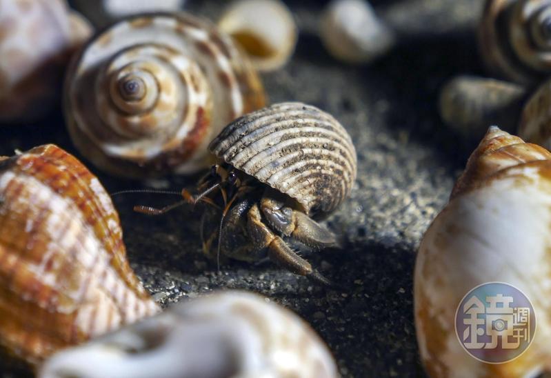 由民眾提供乾淨的貝殼及螺殼,讓寄居蟹能安居生活。