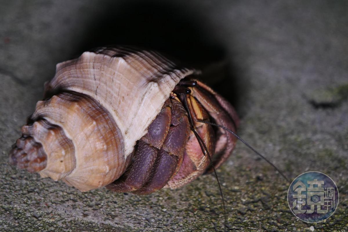 寄居蟹將身體縮入殼中後,外面爪子會擋住洞口作為保護。