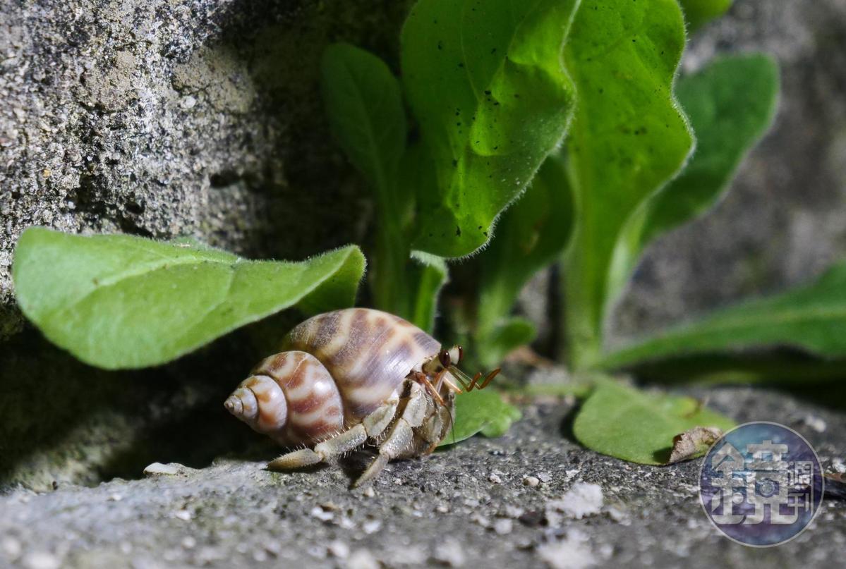 寄居蟹生性害羞,入夜後沿著牆角緩緩移動。