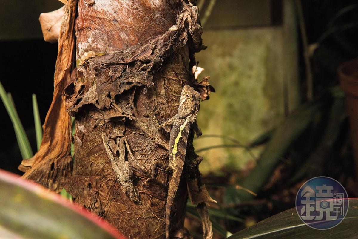 園內生態多樣豐富,定睛一看,1隻蜥蜴棲息在樹上準備捕捉獵物。