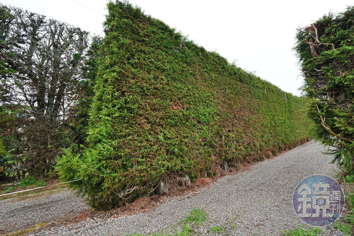 防風林能避免奇異果受到損傷。