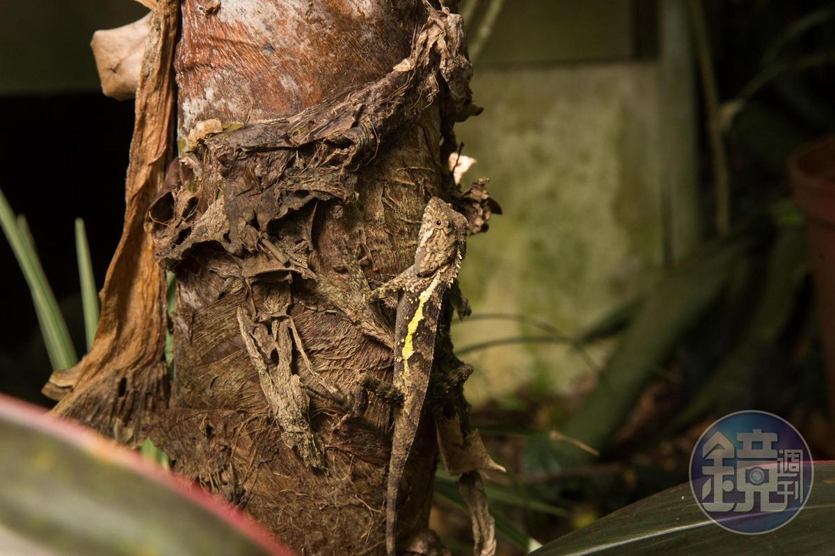 園內生態多樣豐富,定睛一看,一隻蜥蜴棲息在樹上準備捕捉獵物。