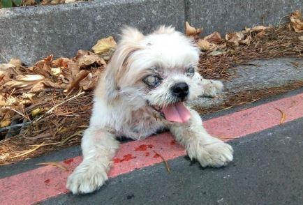 近乎全盲的瑪爾濟斯狗不慎走失,被好心民送至八里收容所,卻遭收容所人員丟至山中棄養。(翻攝畫面)