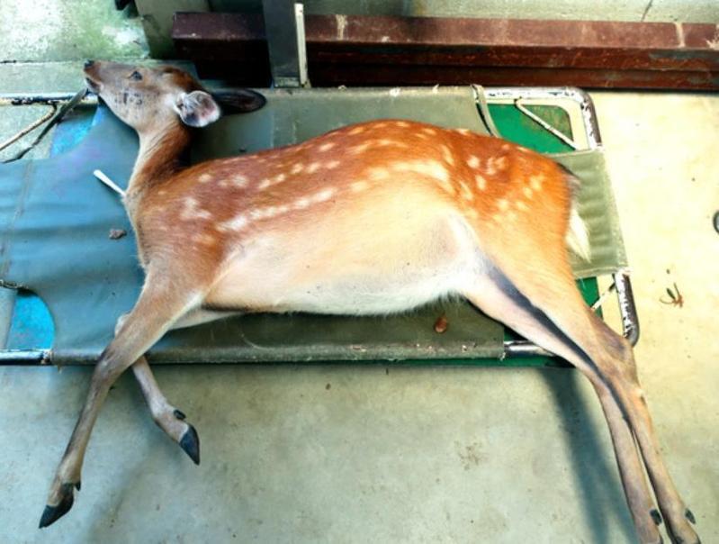 受傷的鹿因麻醉沉睡中。(翻攝朝日新聞)