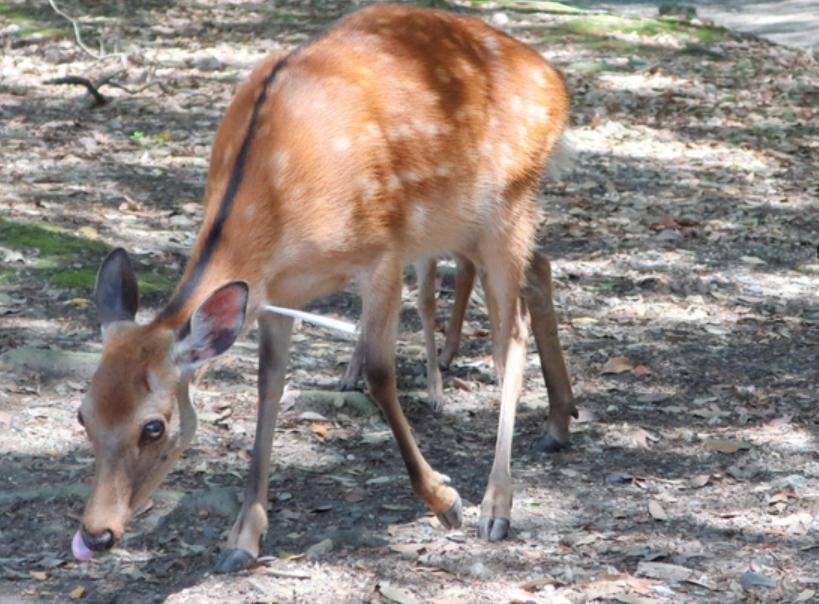 鹿的脖子上刺著1支長約15公分的白色箭矢。(翻攝朝日新聞)