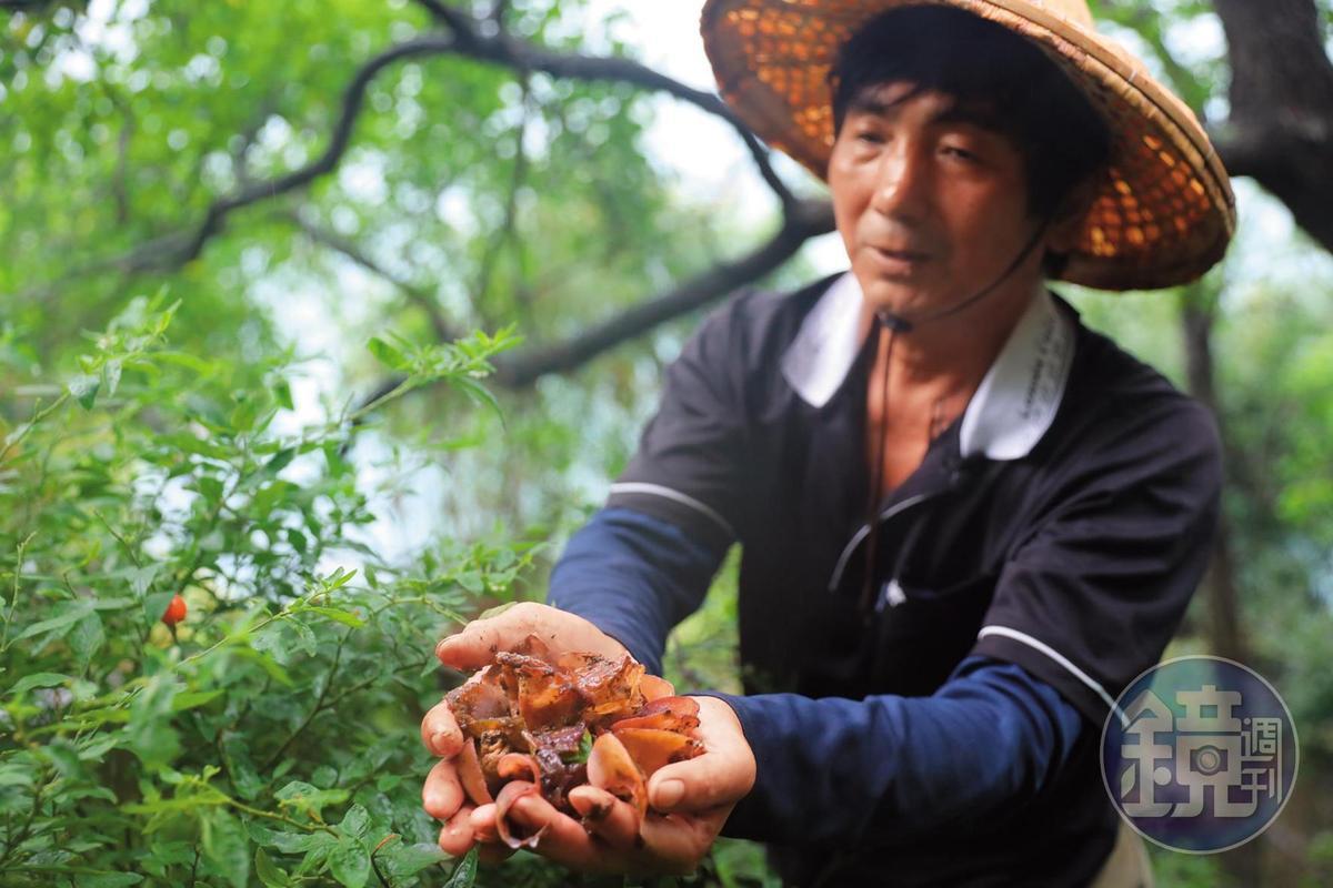 「大坵生態樂園民宿」主人胡進江發現剛長出來的新鮮黑木耳。