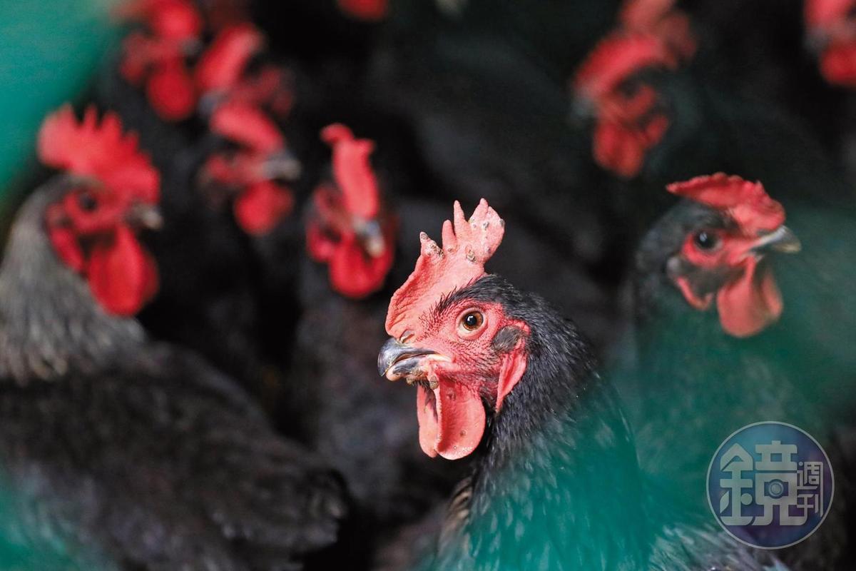 因為愛啄蜈蚣,胡老闆叫牠們「蜈蚣雞」,下雨關進籠子裡,免得感冒。