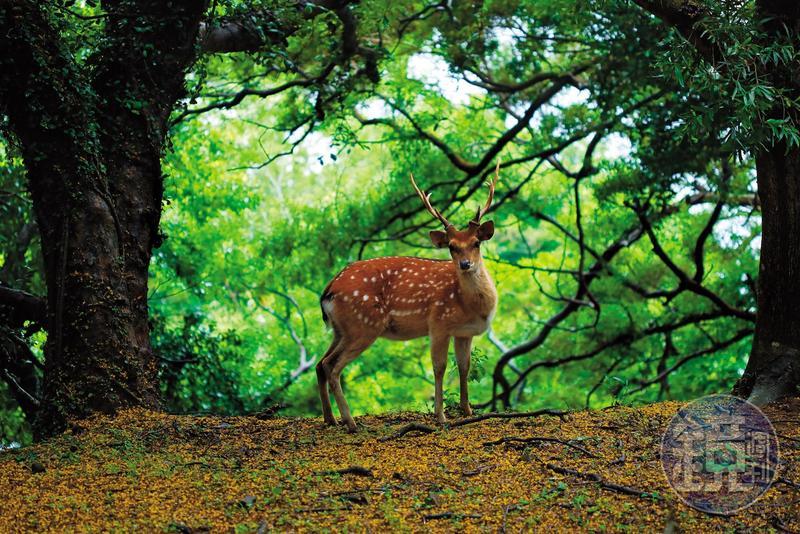 梅花鹿悠哉地穿梭在樹林間。