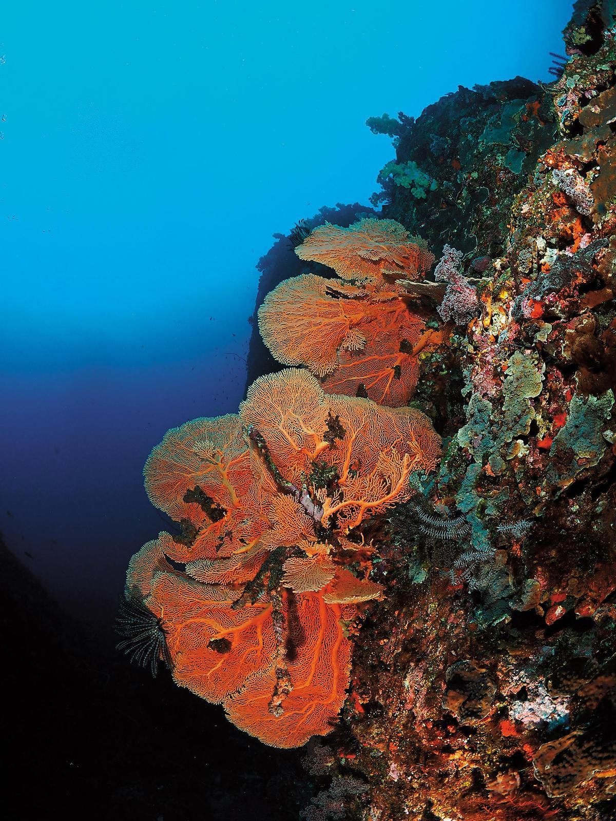 鮮豔的海扇與珊瑚礁,為海底多添了一分神祕靜謐的氛圍。(騏艦藍海灣提供)