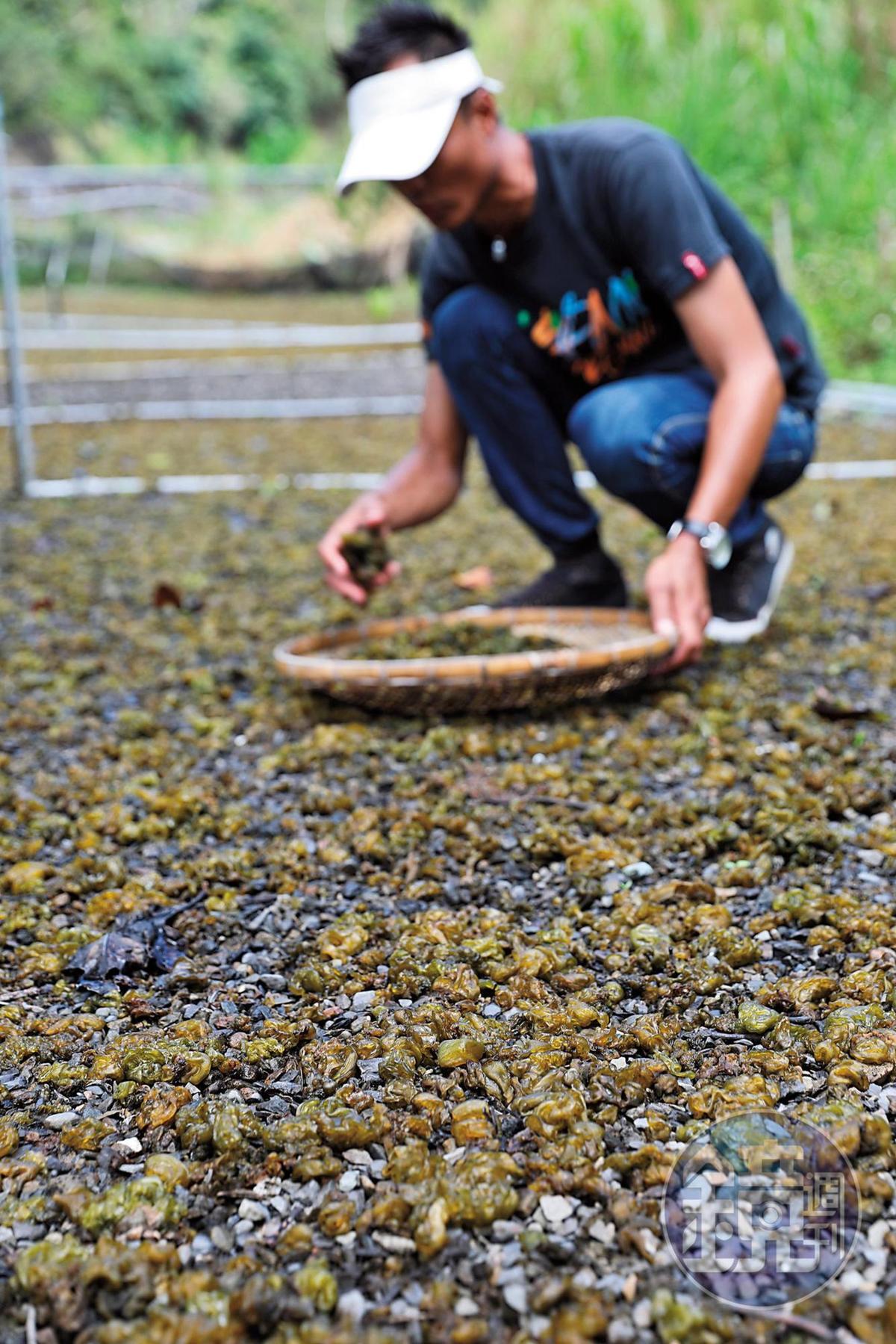 里德一帶有許多種植雨來菇的農地。
