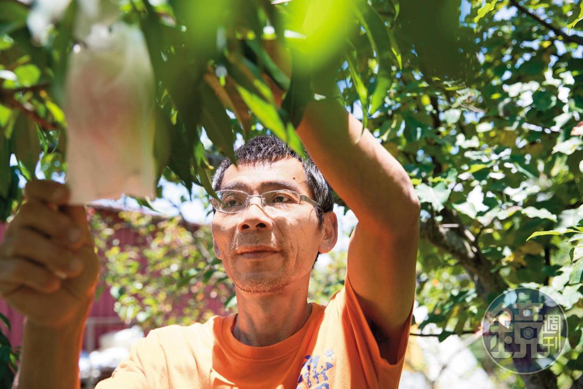 「比佛利農場」主人黑仔為確保品質,每年為水蜜桃親自授粉。