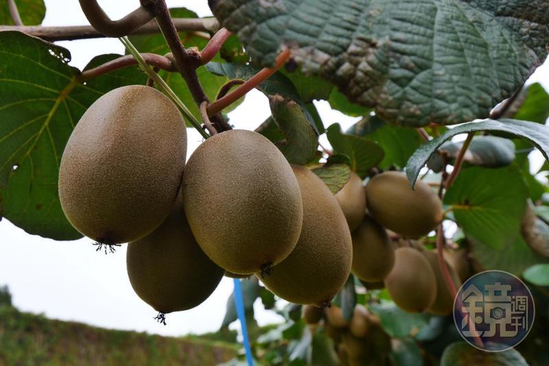 從紐西蘭進口的奇異果,全程低溫配送,抵達台灣的超市時,還能維持果子的硬度。