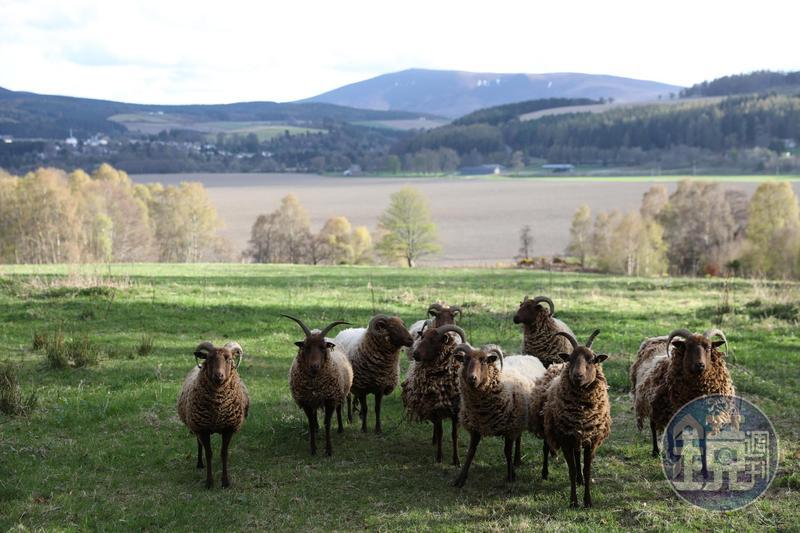 蘇格蘭高地是動物的天堂,在鄉間小路旁偶遇的綿羊,雙眼炯炯有神衝到柵欄前看著外地來客,是很有趣的體驗。