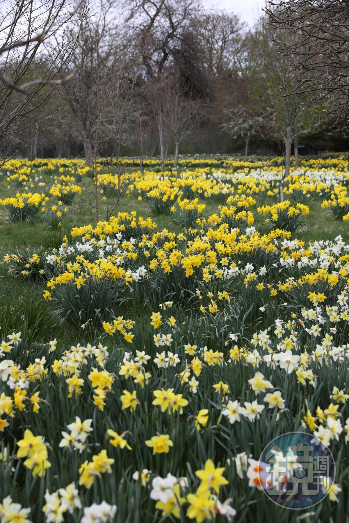 春夏之交的蘇格蘭,到處都是黃白花兒搖曳。
