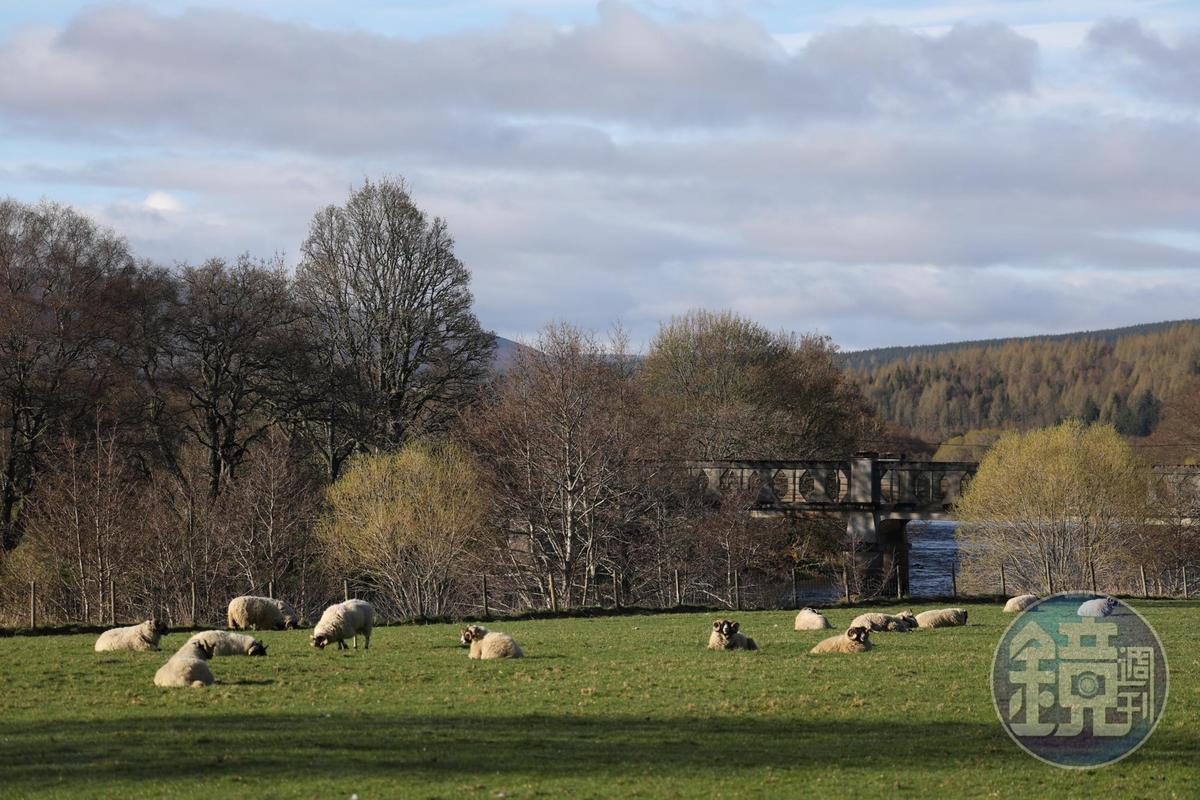 公路旁常見成群結隊做日光浴的羊群。