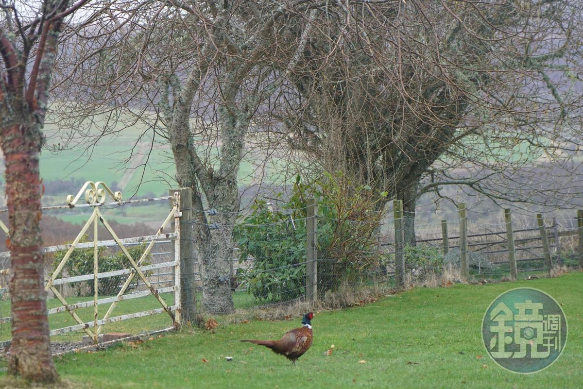 蘇格蘭人看到野放的雉雞,只有一個形容詞:「Tasty」。