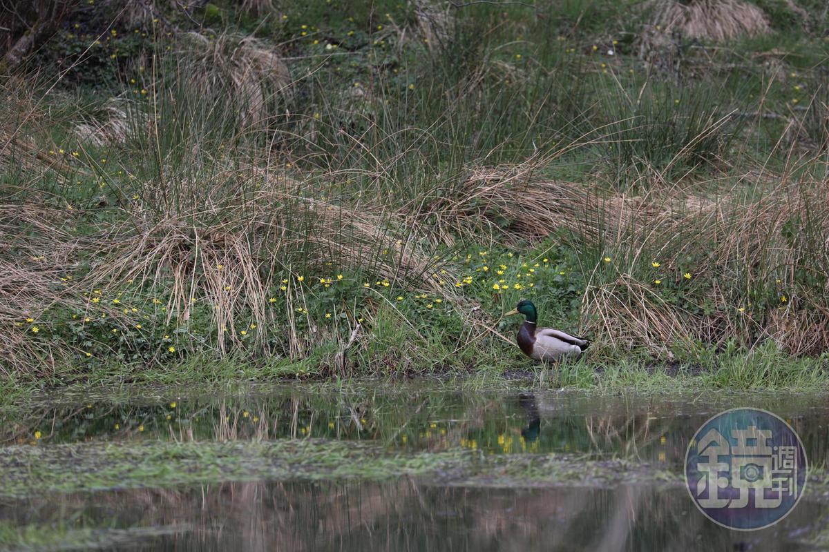 河畔不時有野鴨出沒。
