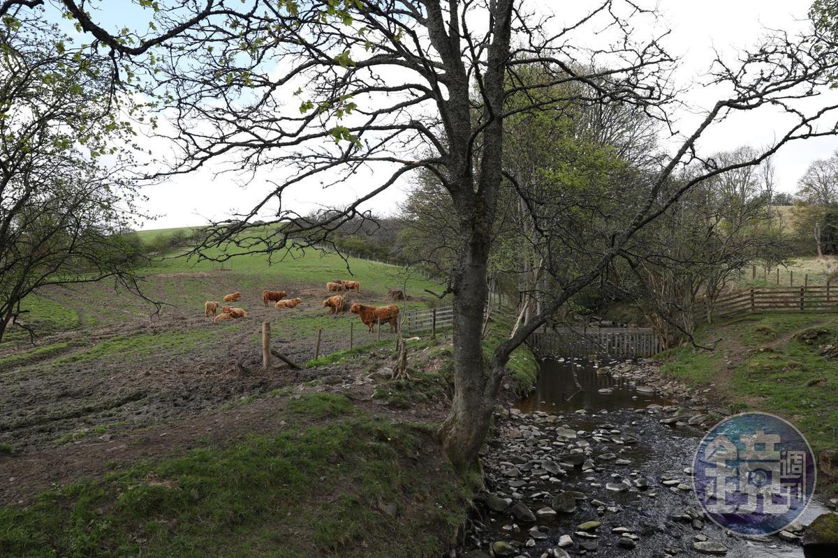 在樹下懶散休息的高地牛,是特別能抵禦嚴寒的品種。